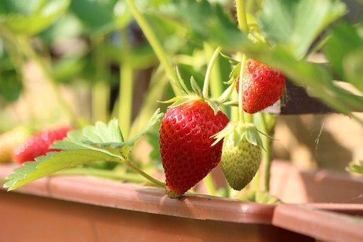 Strawberries, Fruit, Sweet, Cultivation, Garden, Summer