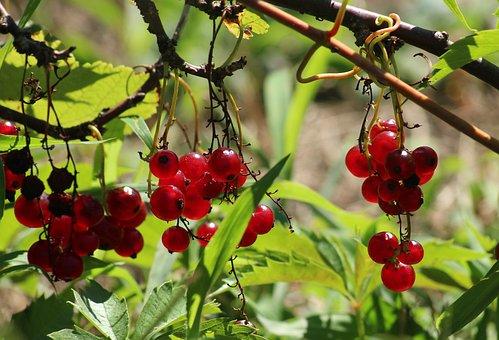 Currant, Mature, Fruit, Red, Summer, Garden, Fresh