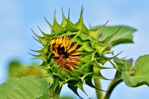 Sun Flower, Flower, Petals, Bloom, Blossom, Bloom