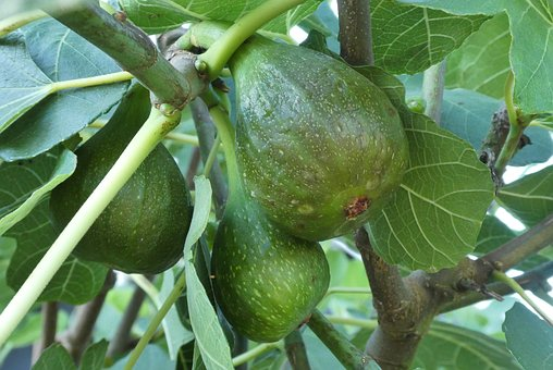 Figs, Fig Tree, Green, Fruits, Nature, Tree, Leaves