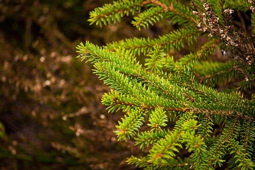 Wallpaper, Nature, Landscape, Trees, Tree, Fir, Spruce
