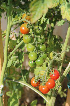 Tomatoes, Cherry Tomatoes, Fruit, Red Fruit, Vegetables