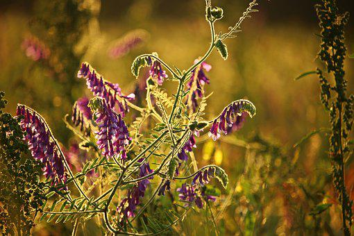 Summer, Vetch, Blossom, Bloom, Flower, Climber, Plant