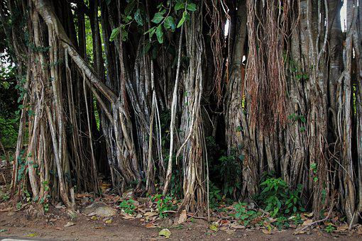 Vines, The Roots Of The, Vegetation, Plant, Tropical