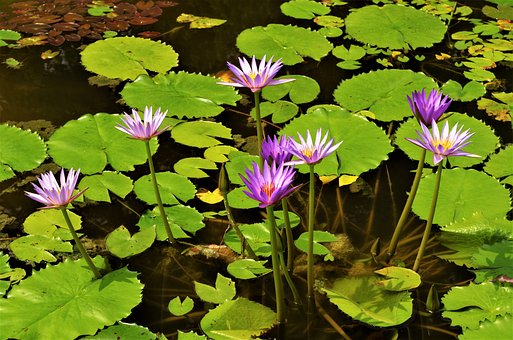 Flowers, Waterlilies, Water Flowers, Violet