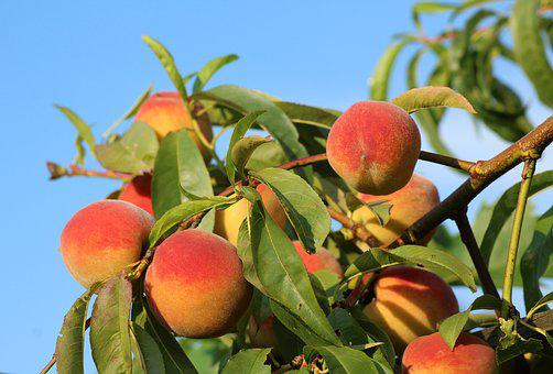 Peaches, Fruit, Maturation, Summer, Food, Eat, Vitamins