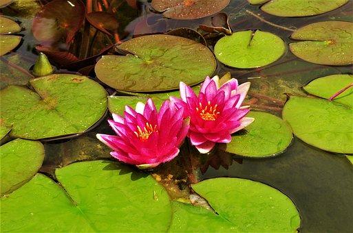 Flowers, Waterlilies, Water Flowers, Pink Water Lilies