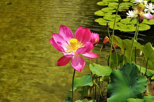 Flower, Water Lilies, Flower Water, Water Lily Pink