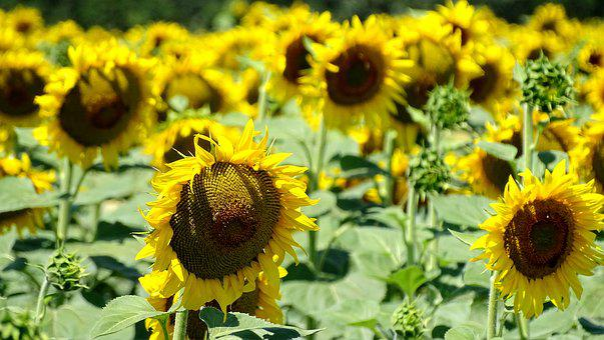 Field, Sunflowers, Harvest, Yellow, Flowers, Flower
