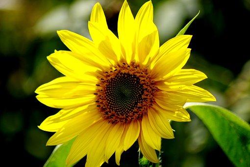 Sun Flower, Yellow, Light, Summer, Flower, Nature