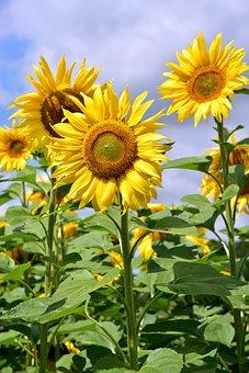 Sunflower, Upright, Sunflower Field, Yellow, Nature