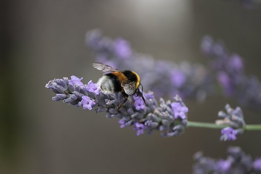 Fictional, Hummel, Insect, Animal, Blossom, Bloom