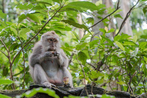 Balinese Long Tailed Macaque, Macaque, Monkey, Primate