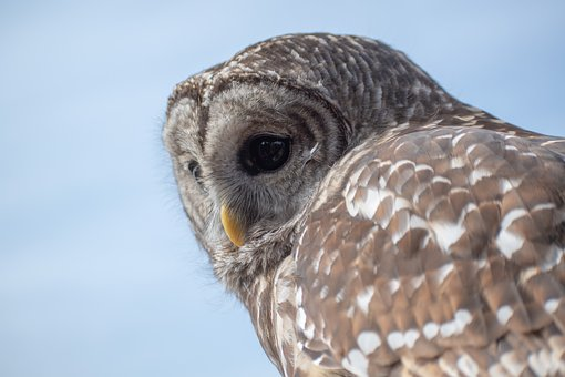 Owl, Bird, Raptor, Wildlife, Predator, Beak, Feather