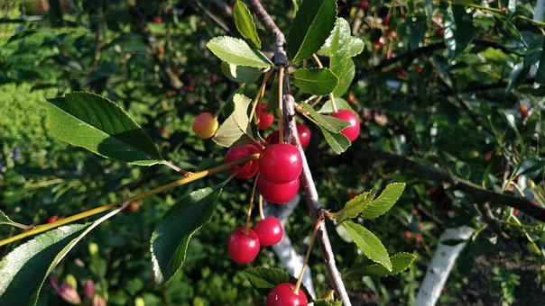 Cherry, Summer, Berry, Red, Nutrition, Garden, Sweet