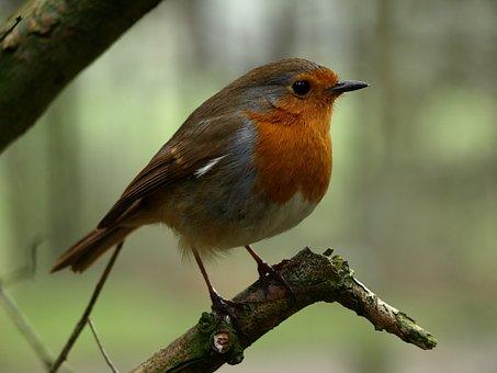 Robin, Bird, Nature, Songbird, Animal, Spring, Nest