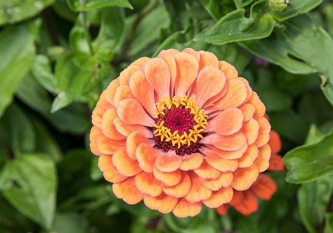 Zinnia, Blossom, Bloom, Plant, Orange, Summer, Flora