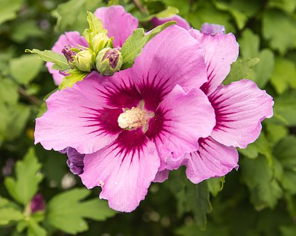 Hibiscus, Blossom, Bloom, Plant, Pink, Summer, Flora