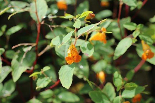 Touch, Me, Not, Orange, Flower, Floral, Botanical