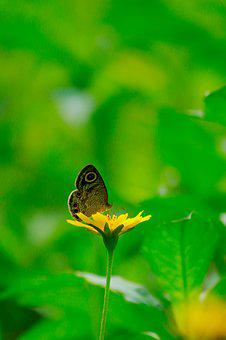Common Four-ring, Common Four Ring, Butterfly, Brown