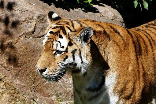 Tiger, Zoo, Predator, Wildcat, Dangerous, Carnivores