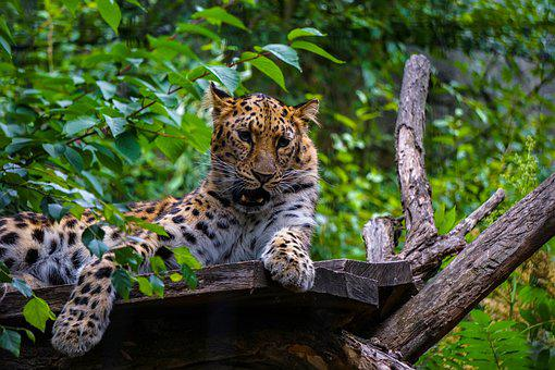 Leopard, Cat, Predator, Wildcat, Nature, Africa