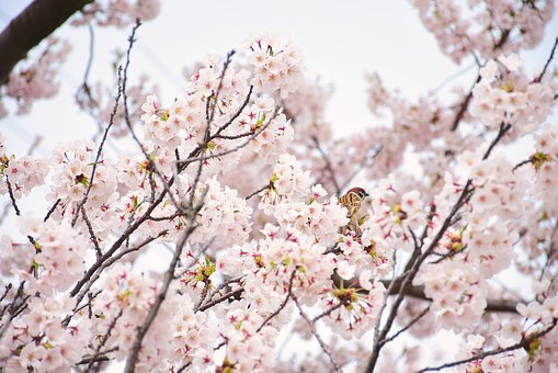 Cherry Blossoms, Sparrow, In Full Bloom, Cherry Tree