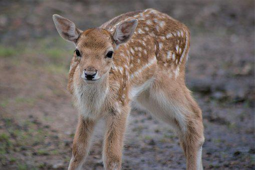 Fawn, Close Up, Wild Animal, Animal World, Mammal