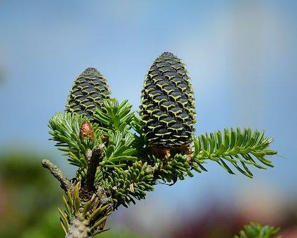 Branch, Cones, Tree