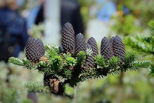 Tree, Coniferous, Cones, Branch, Nature