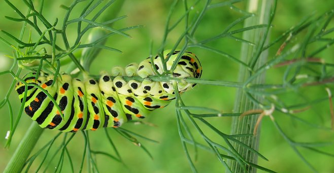 Nature, Garden, Caterpillar, Dovetail, Close Up