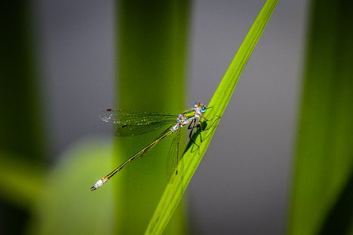 Dragonfly, Eyes, Blade Of Grass, Insect, Macro, Wing