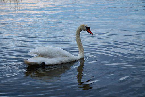 Swan, Evening, Nature, Water