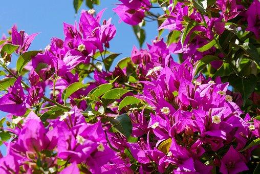 Nature, Plant, Bougainvillea, Exotic, Flowers, Bush