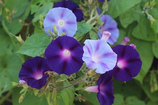 Morning, Glory, Flower, Floral, Botanical, Macro