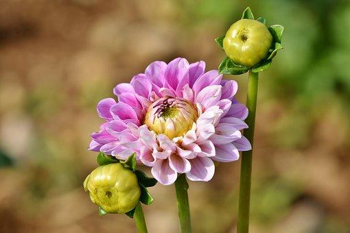 Dahlia, Dahlias Bud, Flower, Bud, Garden Plant, Blossom