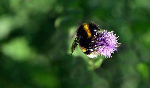 Hummel, Blossom, Bloom, Flower, Close Up, Macro, Insect