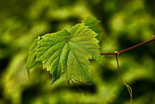 Grape Vine, Leaf, Foliage, Vein, Vineyard, Fruit