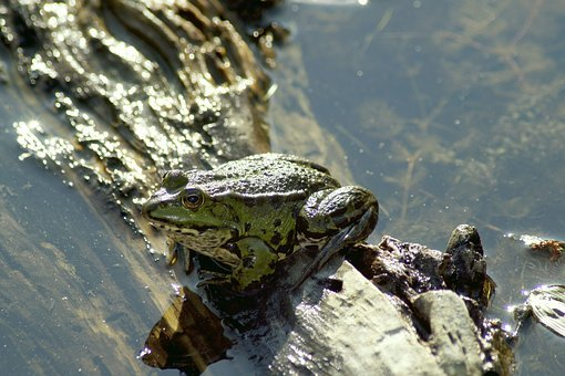 Frog, Animal, Pond, Water Frog, Water, Nature, Green