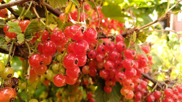 Currant, Red, Berry, Garden, Nature, Fruit, Nutrition