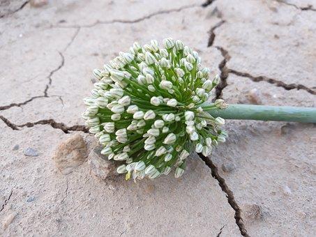 Garlic, Garlic Flower, Drought, Flower, Plant, Live