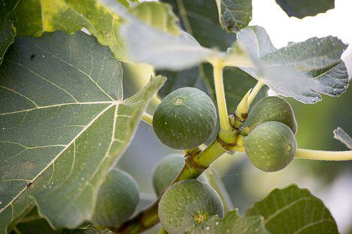 Fig, Food, Tree, Eat, Sano, Fruit, Alimentari, Green
