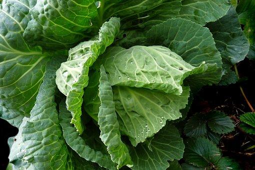 Vegetable, Cabbage, Plant, Garden, Green