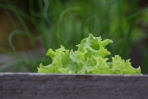 Salad, Green, Food, Vegetables, Cultivation, Harvest