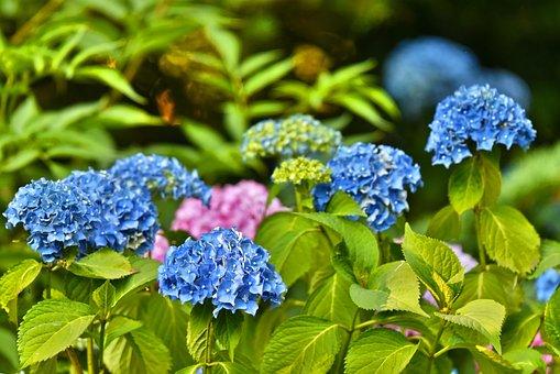 Hydrangea, Hortensia, Shrub, Flower, Deciduous