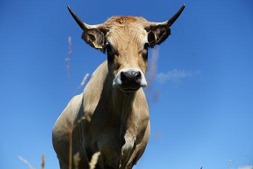 Animal, Cow, Hypnosis, Fields, Livestock, Ruminant