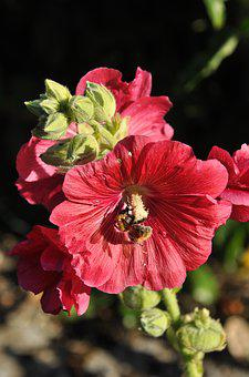 Bee, Forage, Flower, Insect, Nature, Garden, Hibiscus
