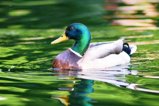 Duck, Lake, Water, Animal, Nature, Bird, Swim, Alone