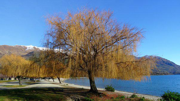 Tree, Lake, New Zealand, Landscape, Nature, Wanaka