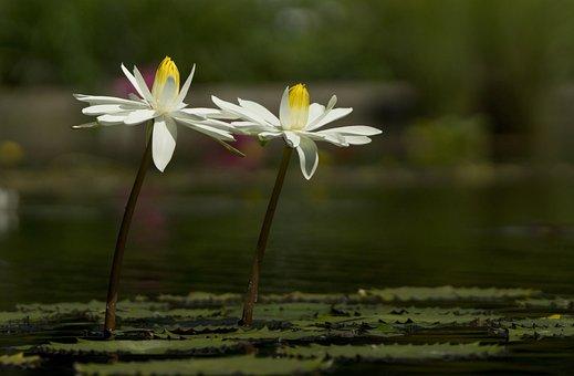 Water Lily, Pond, Luisenpark, Mannheim, Pond Plant